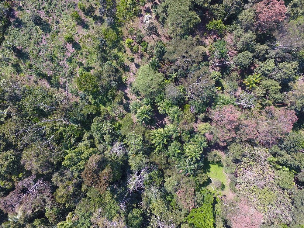 Drone photograph of mixed agroforestry systems and natural regeneration at Camino Verde Baltimori reforestation center.