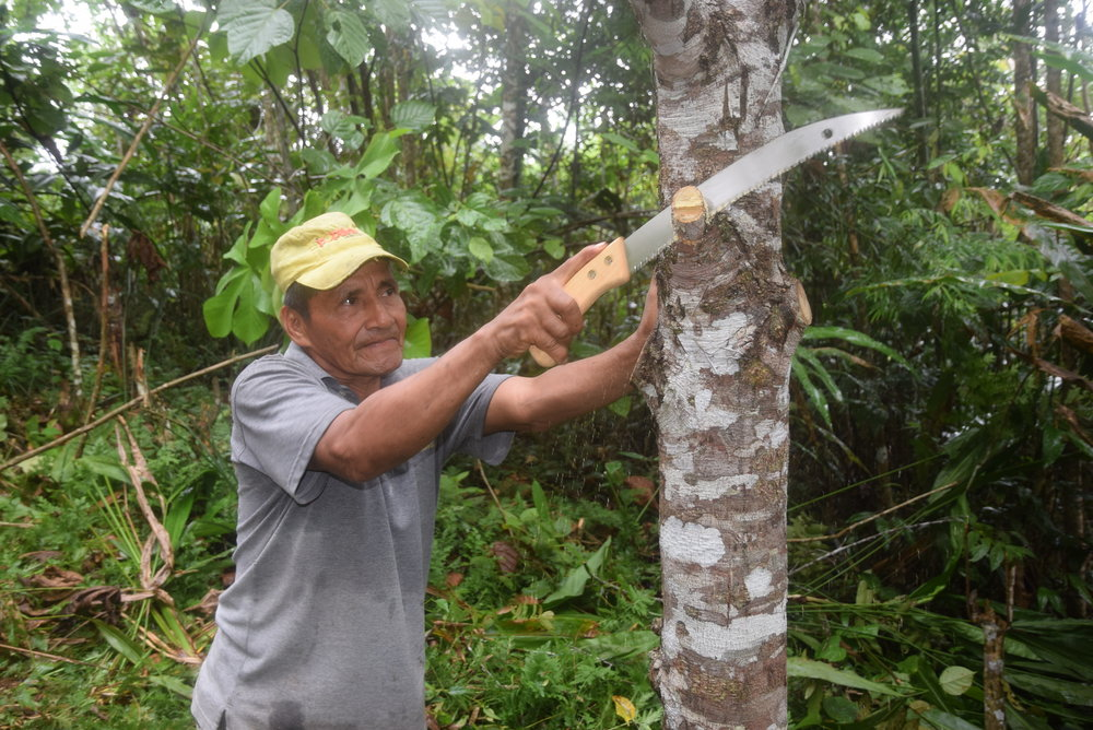 Don Miguel carefully prunes his 12-year old rosewood trees. Well-timed pruning can actually improve the health of trees rather than harm them.
