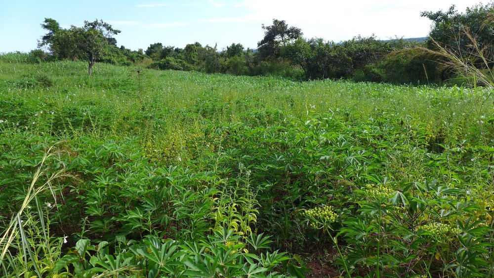 Cassava and sesame polyculture.