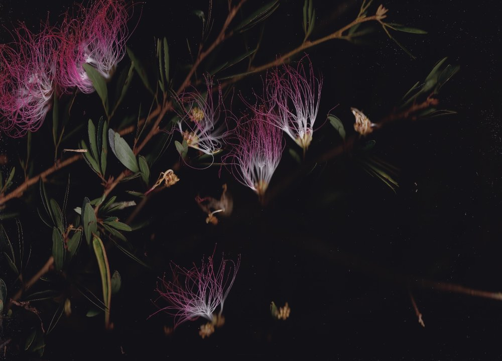 Calliandra angustifolia  - all images by Blair Butterfield of trees from Camino Verde Baltimori Reforestation Center.