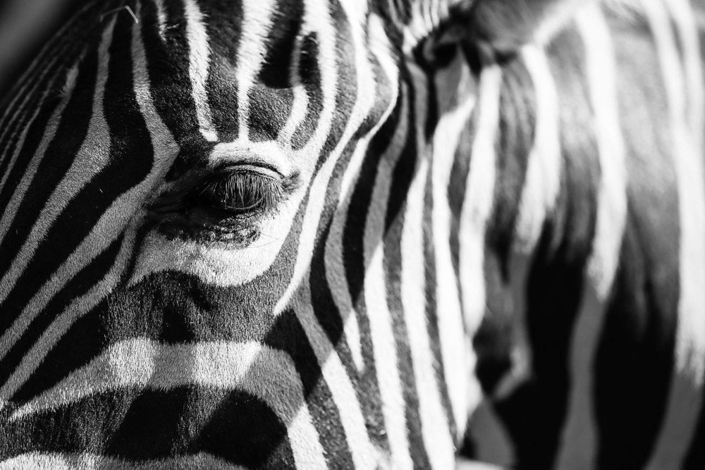 abstract-real-zebra-stripes_free_stock_photos_picjumbo_HNCK6912-1570x1047.jpg