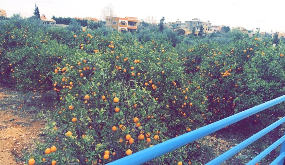 kleileh-oranges.JPG