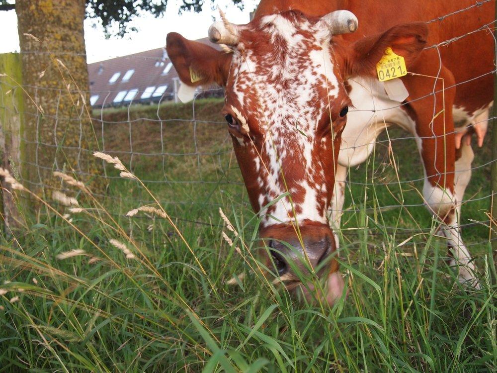 Cow in Meerenwijk Holland