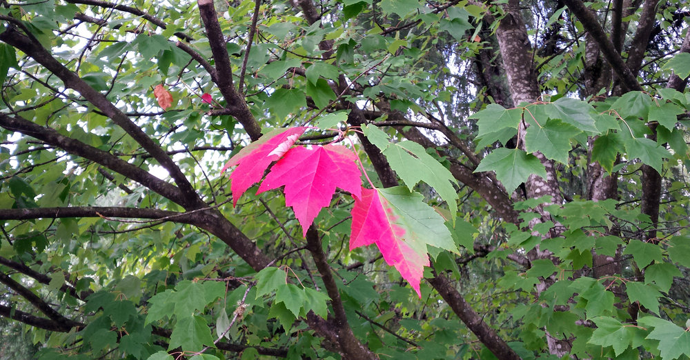 red-leaf-robbin-whachell.jpg