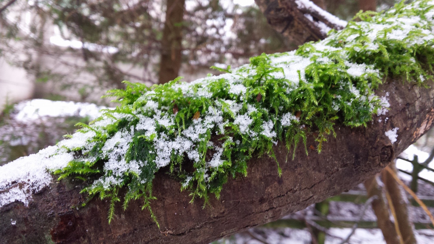 snow-on-moss-tree
