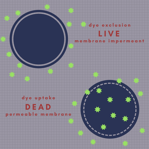 When using membrane impermeant DNA binding dyes, cells with an intact membrane will exclude the dye and remain negative for fluorescence. Cells with a compromised membrane will take up dye and show positive fluorescence.
