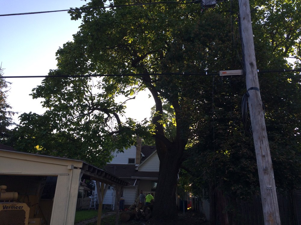Predawn photo of a 100'+ Catalpa tree removal from a rear lot in Grand Rapids. We removed the limb that fell on the house the previous week. The trunk is over 5' across.