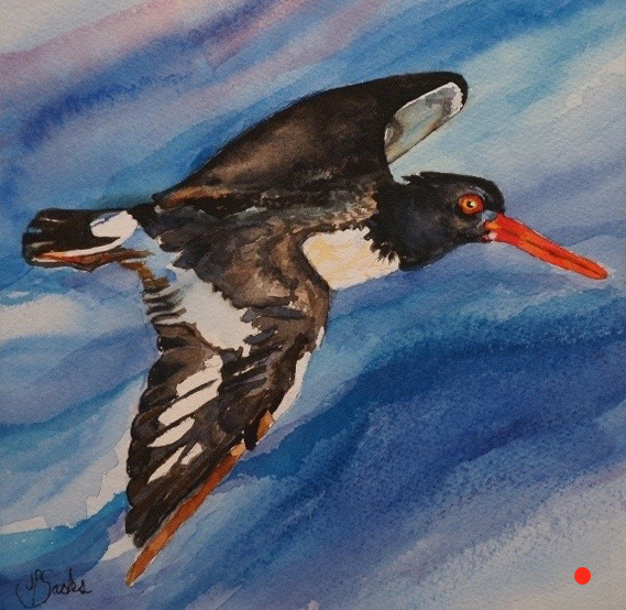 Oyster Catcher in Flight, Watercolor, 9.5Hx9.5W, SOLD