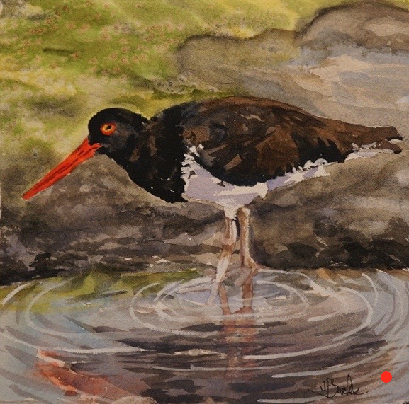 Oyster Catcher Hunting for Food, Watercolor, 9.5Hx9.5W, SOLD