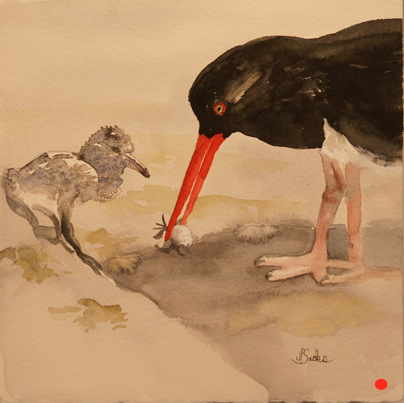 Oyster Catcher Feeds Chick, Watercolor, 9.5Hx9.5W, SOLD