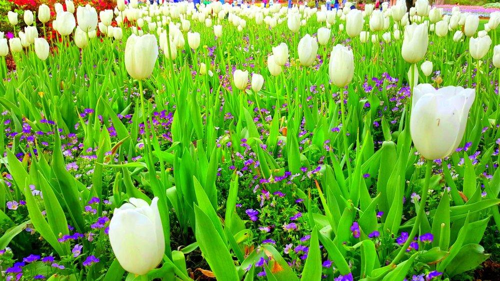 Dallas Blooms at the Arboretum celebrates spring with Tulips