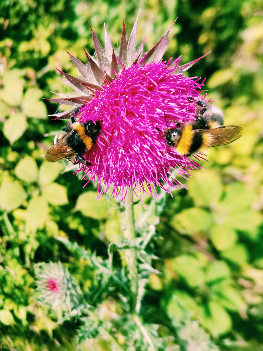 thistle Distel bumblebee Hummel Natur Sonne Sommer nature summer question group Gruppe Frage Antwort answer