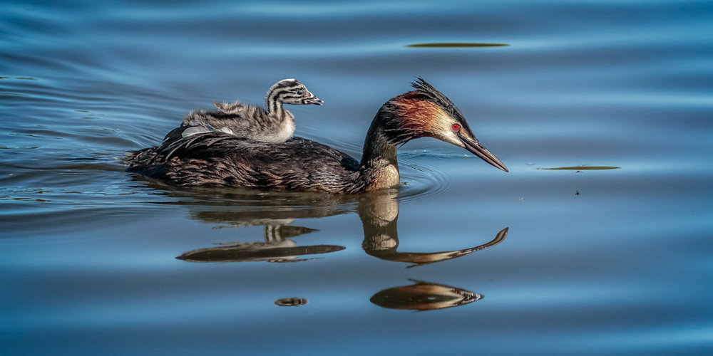 Grebe and chick - ALAN BASTIN.jpg