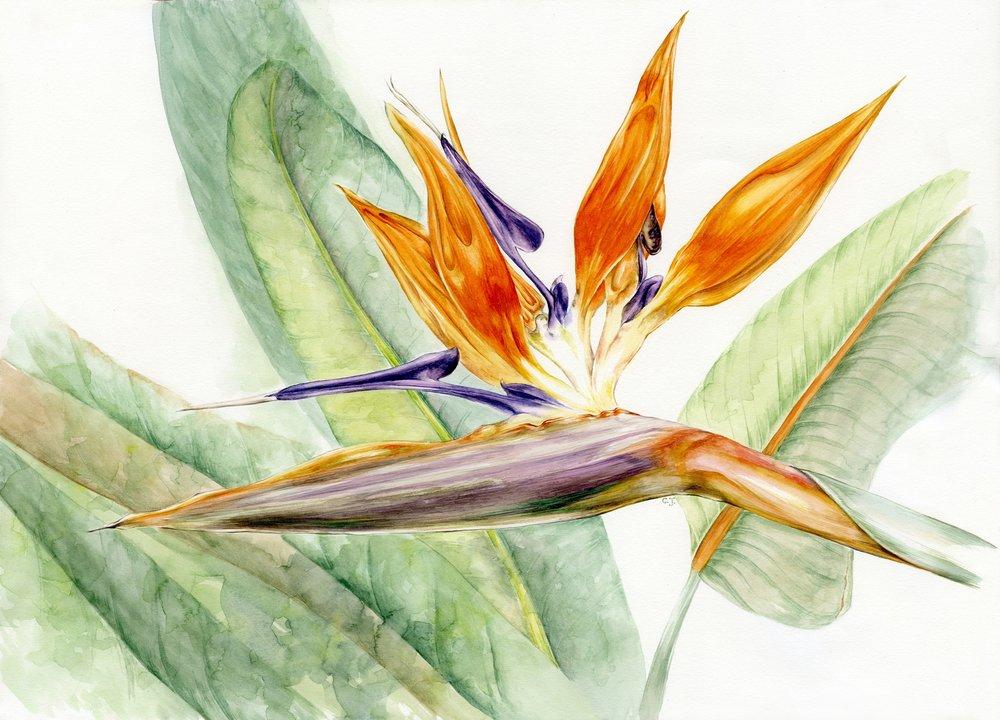 Strelitzia reginae watercolour image.jpg