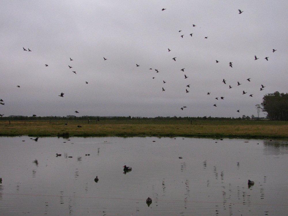 Ducks_patos.JPG