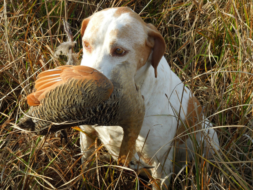 bird_hunting_dog.jpg