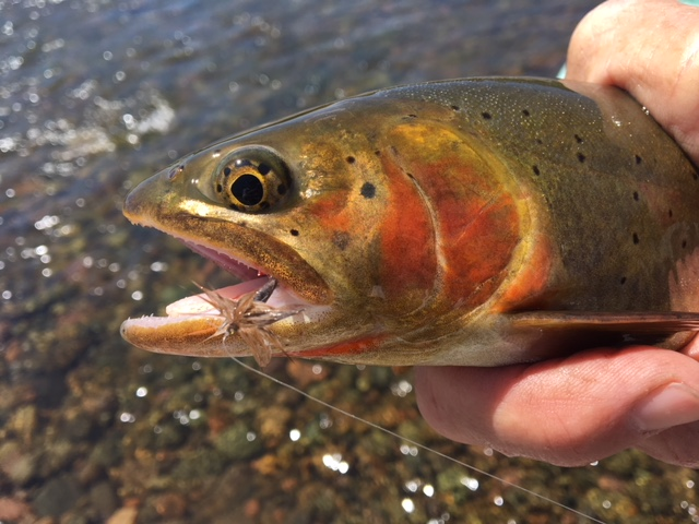 "A ""trophy"" cut throat that aggressively took a dry fly and put up a great fight!"