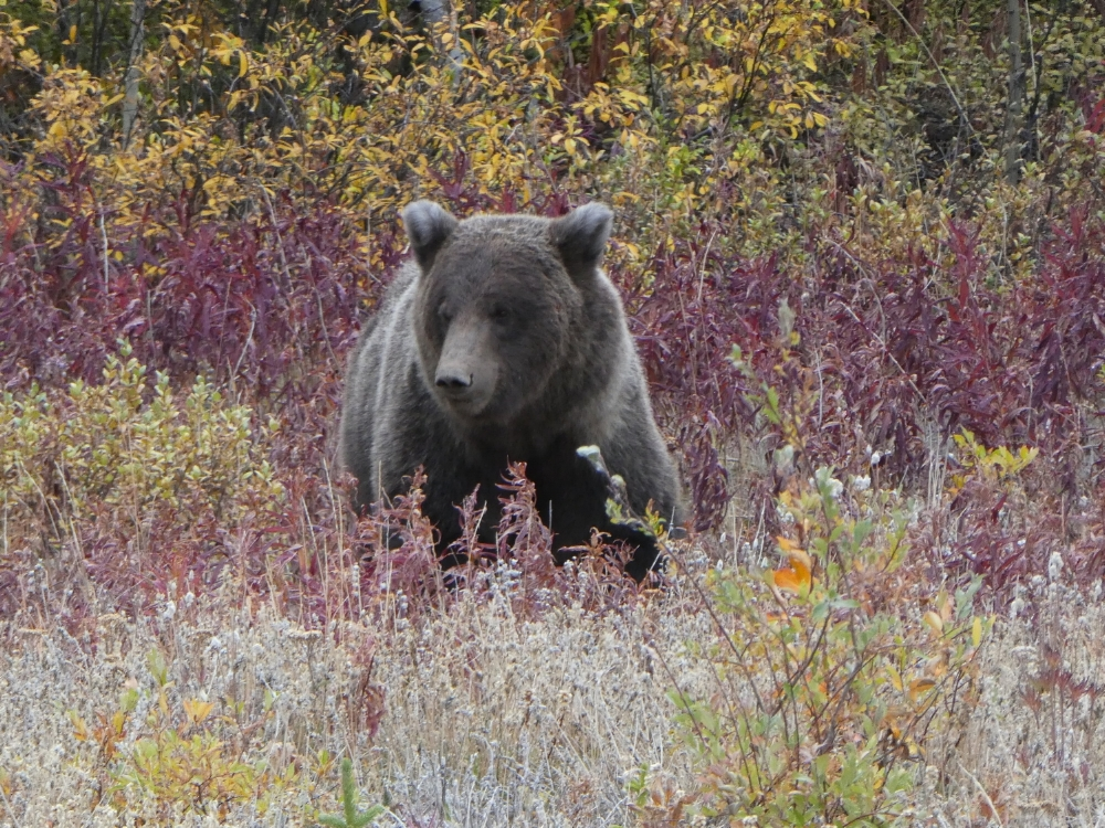 More signs of changing seasons in Yukon Territory. This grizzly was busily digging up food along the side of the highway.