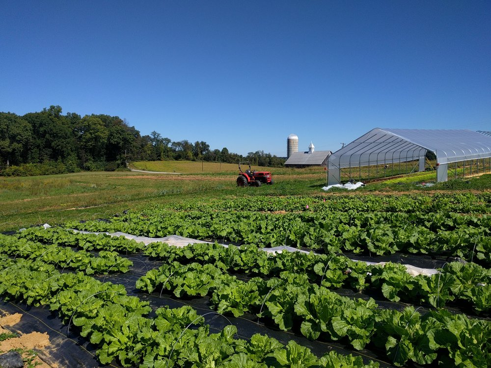 1,200 lbs of Napa cabbage, give or take, soon to be off to the great kimchi in the sky