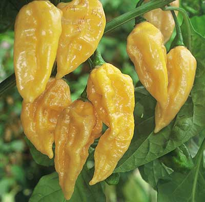 Fatalii hot pepper from Central African Republic.