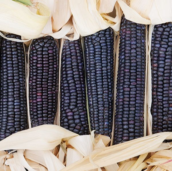 Jerry Peterson blue flint corn. South Dakota heirloom. Flint corns are for roasting or popping, but we also hope to find someone to mill it into flour for us.