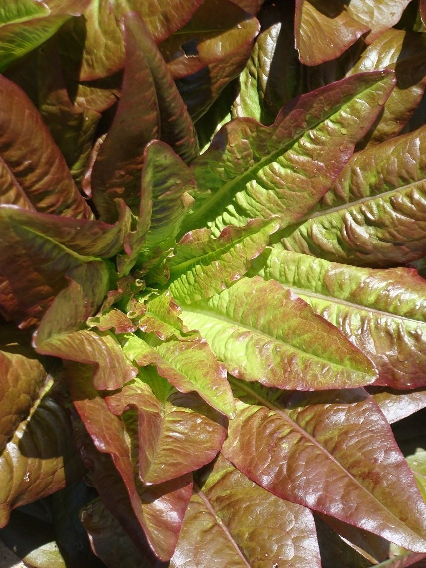 Devil's Ear lettuce is a French heirloom once maintained by the Abundant Life Seed Foundation.