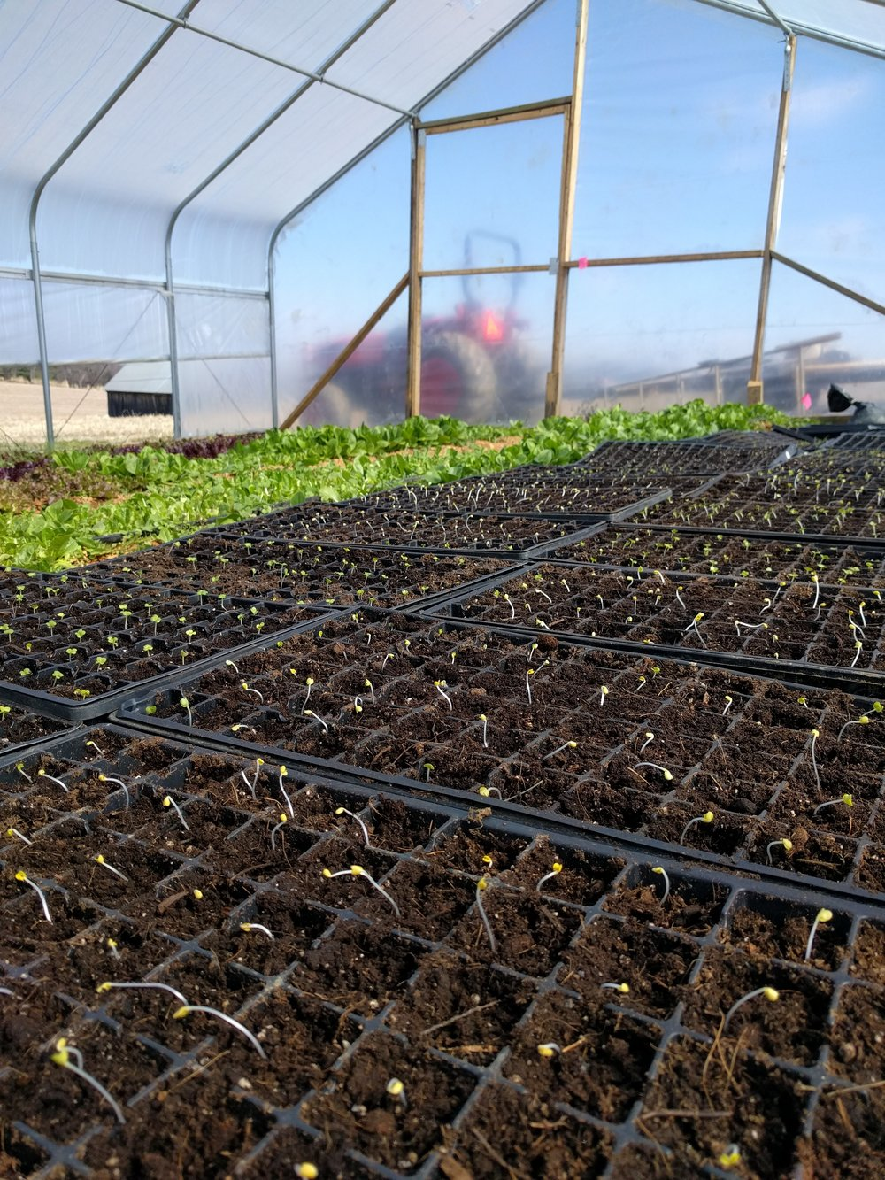 One of the the most exciting signs of spring, cabbage seedlings, fresh germinated in the high tunnel.