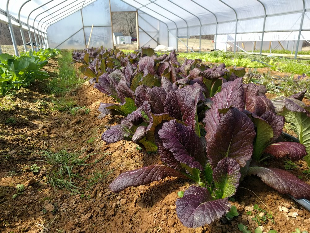 Red giant mustard, a new crop!