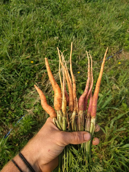 Carrots will be here soon with just a little more care and nurturing (and weeding).