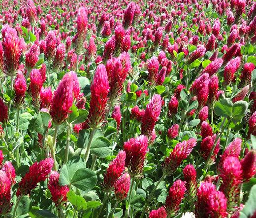 Crimson clover flowers in bloom.