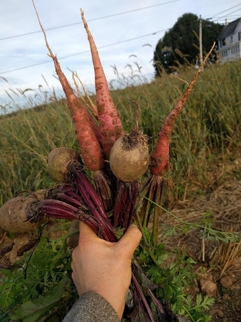 Red beets and purple carrots, straight from the field.