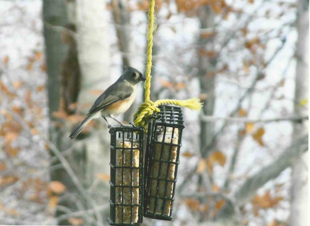 Ma toute première photo d'oiseau, une Mésange bicolore, en 2003