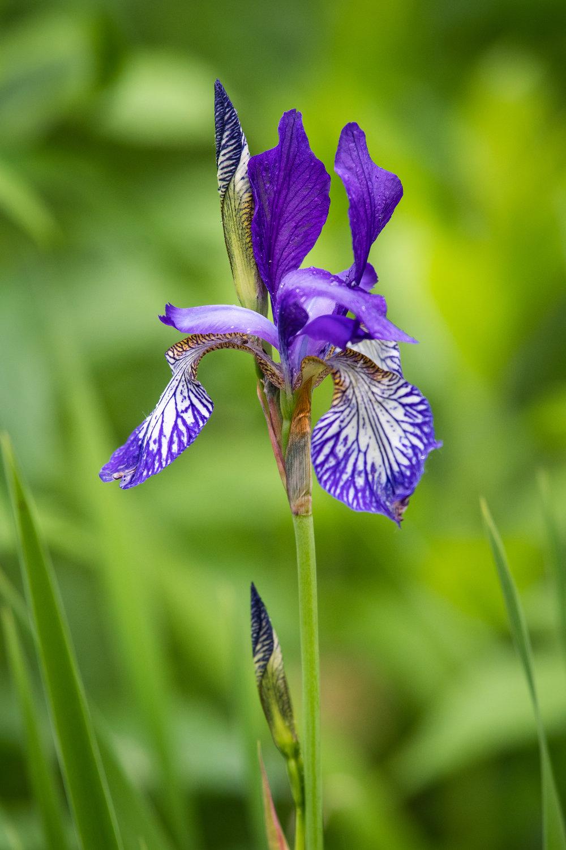 L'iris versicolore se retrouve principalement en bordure des cours d'eau et des marais. Elle représente bien la grande diversité et la fragilité des milieux humides au Québec!