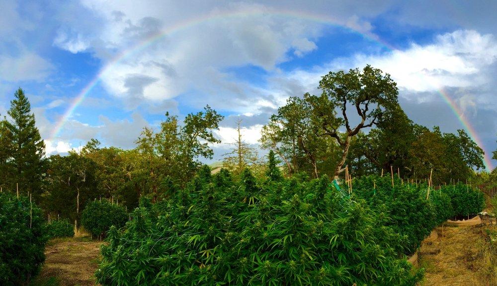 Rainbow over plants web.jpg