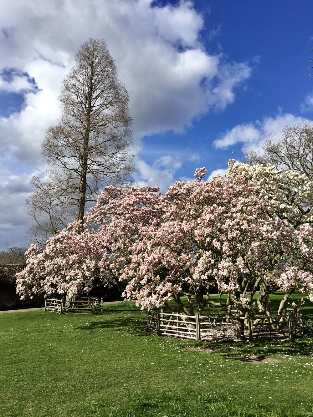 Hampton Court Blossom