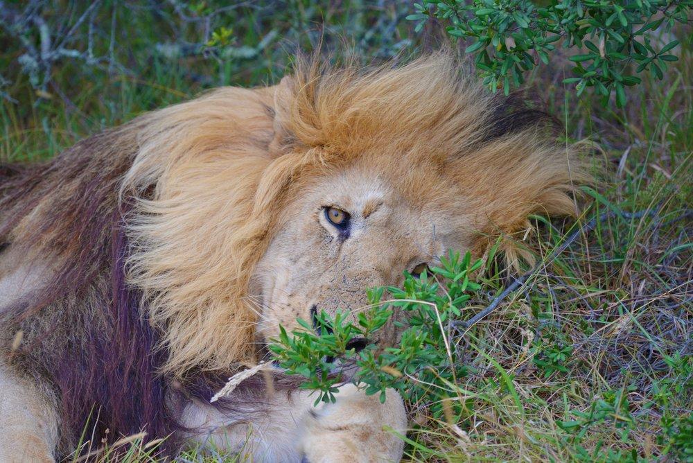 lion-1165090.jpg