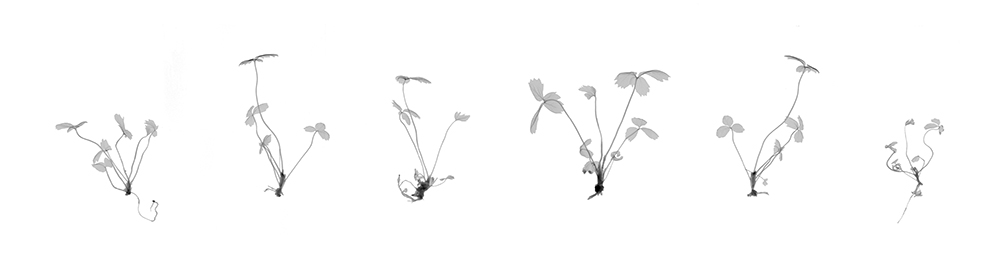 Strawberry Clones   Archival Pigment Photograph, 12 x 47 inches