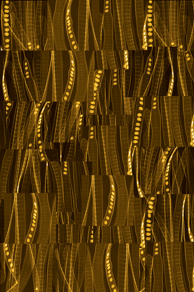 Acacia   Digital Chromogenic Lenticular Photograph (simulation of color changes visible when viewing the work),58 x 38.5 inches