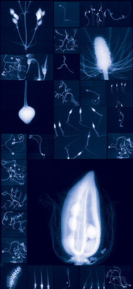 Millennium Seed Bank Research Seedlings and Lochner-Stuppy Test Garden     no. 3   Digital Chromogenic Lenticular Photograph, 79 x 36 inches Digital collage made from x-rays captured at the Millennium Seed Bank (England)
