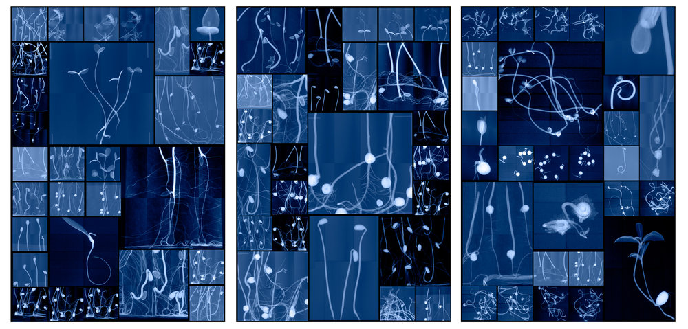 """Seedling Cabinet I, II, III   Digital Chromogenic Lenticular Prints, each 62"""" x 42""""  Digital collages made from x-rays captured at the National Center for Genetic Resources Preservation (USA) and the Millennium Seed Bank (England)"""