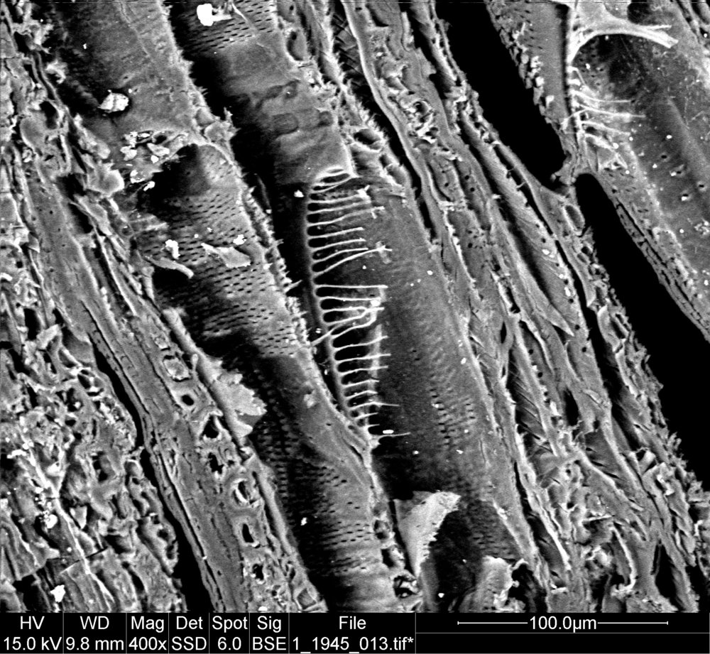 Scanning Electron microscope image of wood sampled from scoop 1.1945.