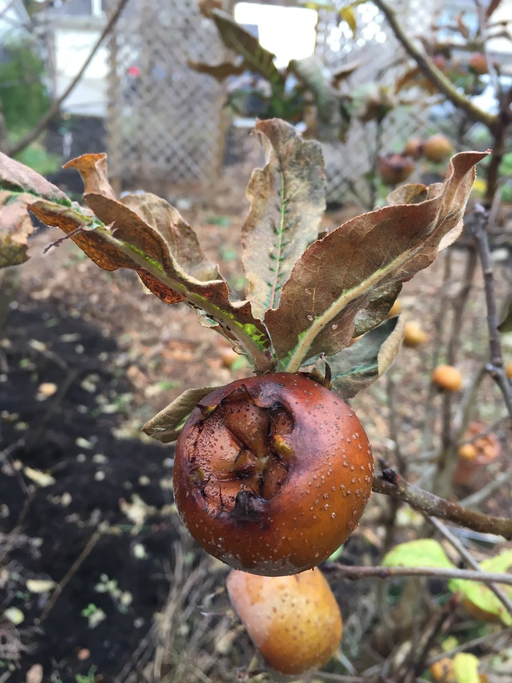 Medlar on the tree