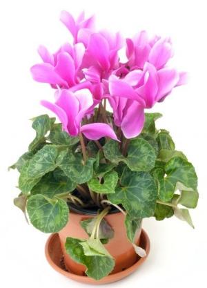florists-cyclamen-400x556.jpg