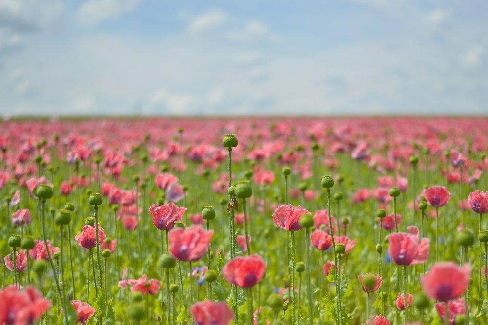 poppy-1814718_1920.jpg