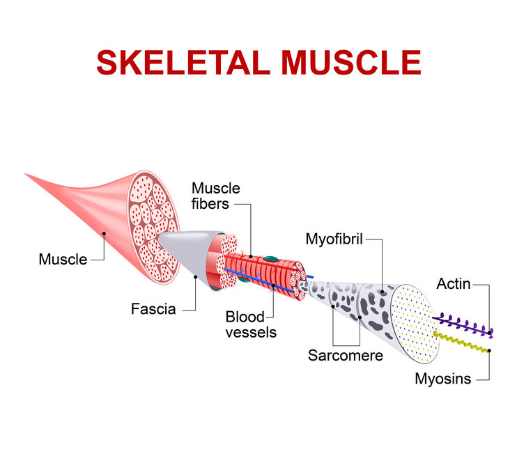 """Fascia  (/ˈfæʃ(i)ə/; plural fasciae /ˈfæʃii/;  adjective fascial ; from Latin: """"band"""") is a band or sheet of connective tissue, primarily collagen, beneath the skin that attaches, stabilizes, encloses, and separates muscles and other internal organs."""