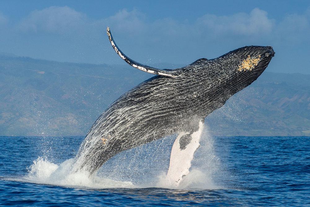 01humpbackwhales.jpg