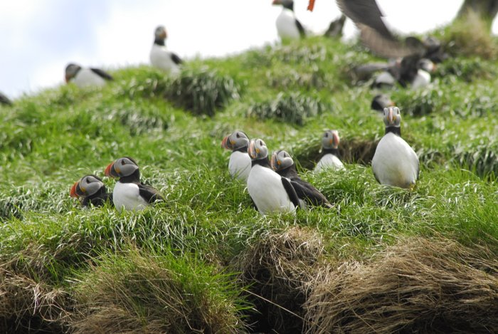 puffin-nesting-nfld.jpg