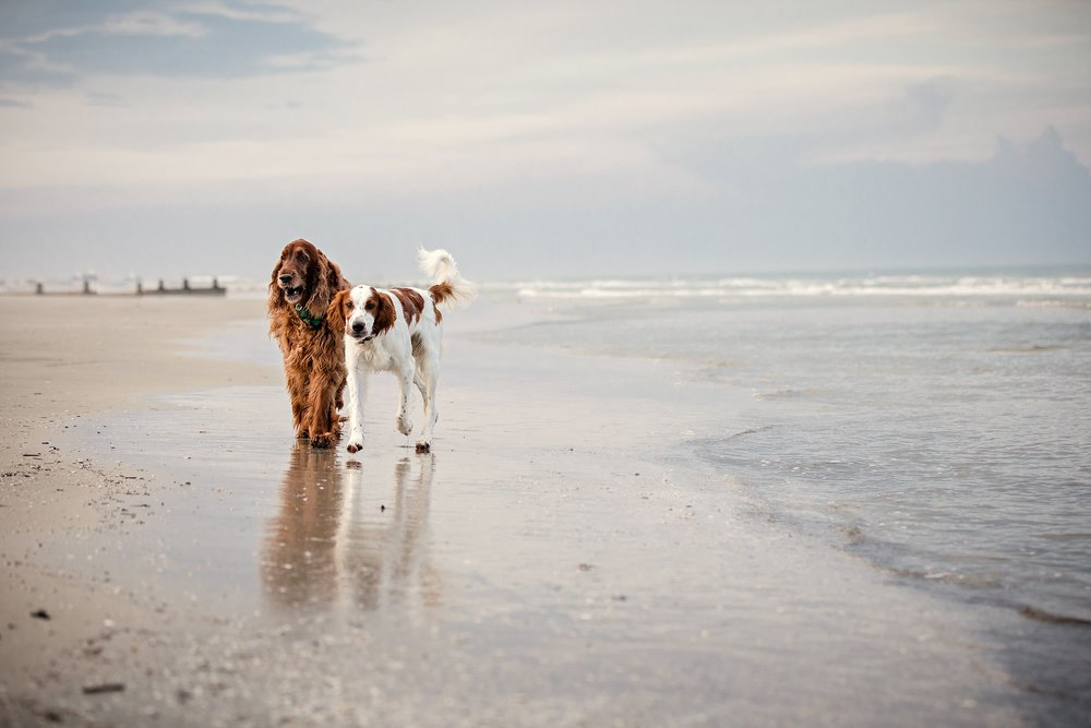 A-Dogs-Life-Irish-Setter_0003.jpg