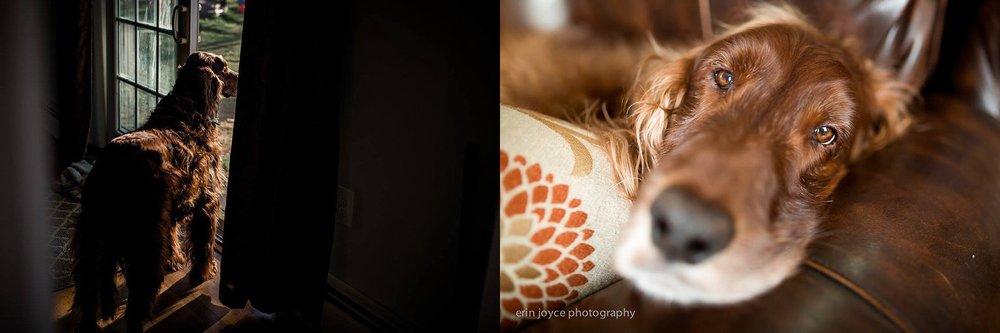 A-Dogs-Life-Irish-Setter_0018.jpg