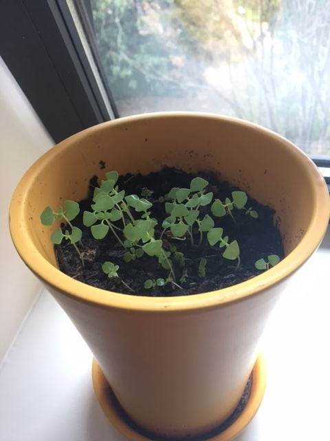 [Image: Small green seedlings grow in a yellow pot, with a window in the background]